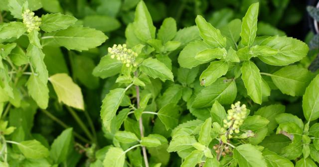 200Holy basil seed  (Ocimum sanctum) - Thai herb, cooking,