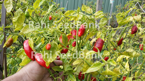 10 Seeds! A Medium Hot Chilli with a Great Flavour Aji Delight Chilli Pepper