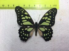 UAP 01 SALE A+//A  MALE Papilio nireus  SALE NICE OCEAN BLUE//GREEN