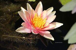 Weiße Seerose Winterharte Nymphea virginalis für eine Wasserschale /& den Teich