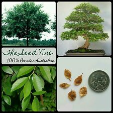 10+ CHINESE ELM TREE SEEDS (Ulmus parvifolia) Bonsai Ornamental Evergreen