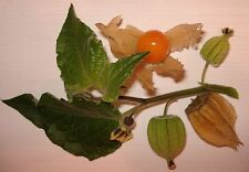 Die Echte Andenbeere *Kapstachelbeere Physalis* 50 Samen
