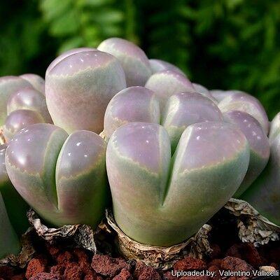 20 Lithops olivacea c109 seeds Rare Cactus Living Stones Succulent plant