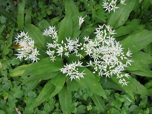 25-graines-d-ail-des-ours-allium-ursinum-garlic-wildg