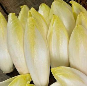 1000 SEMI DI CICORIA BELGA O WITLOOF- indivia-cicoria bruxelles- insalata bianca