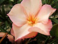 1 Oleander Pflanze Ville De Carpentras