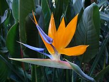 STRELITZIA REGINAE - Tropical Bird Of Paradise Plant - 20 x Exotic Seeds