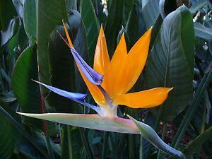 plante exotique les oiseaux du paradis