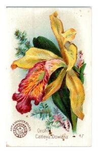 Orchid Catleya Dowiana, Arm & Hammer Beautiful Flowers Victorian Trade Card