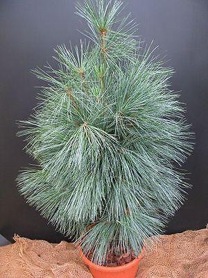 Tränenkiefer Pinus wallichiana Densa Hill 30-40cm Nadelgehölz