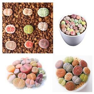 Mix-lithops-and-rare-succulent-seeds-Ass-flower-Living-Stone-bonsai-300pcs-bag-L