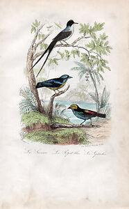 Copieux Buffon / Les Oiseaux. Le Savana - Le Pitpit Bleu - Le Septicolor Belle En Couleur