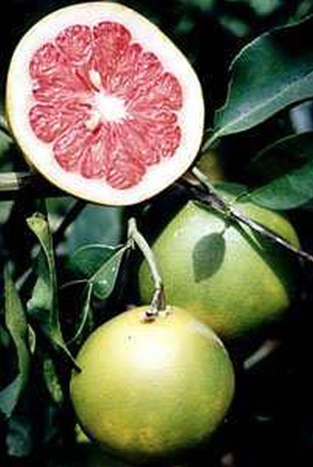 negozio online PAMPLEMOUSSE rosa STAR STAR STAR RUBY Citrus Paradisi  da non perdere!