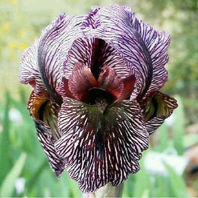 2 Colorful Iris Bulbs Flower Rooted Home Garden DIY Bonsai Plant Beautifying TOP