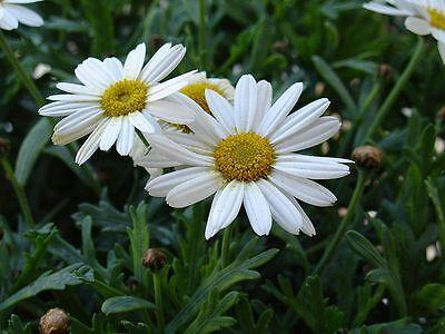 """Sumpfzypresse Taxodium distichum 20 exotische Samen /""""ALLES NUR 1 EURO/"""""""