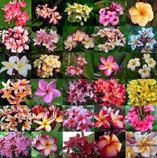 Plumeria Rubra Frangipani Mixed 1000 seeds Fresh over 30 type