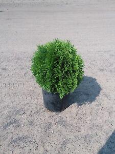 Globe-Arborvitae-Thuja-Live-Plant-1-gallon-Pot