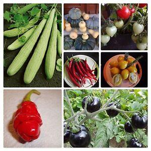 """5  Tomatensamen   /"""" Costoluto Genovese /"""" /""""  Die Würzige/""""  Samen Tomaten"""