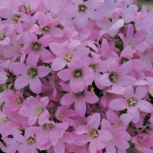 Campanula Hardy Perennial Flower Garden Plant /'Dwarf Pink/' 1 x 1 Litre Pot T/&M