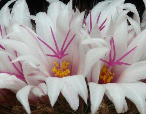 Mammillaria albicans     15  seeds