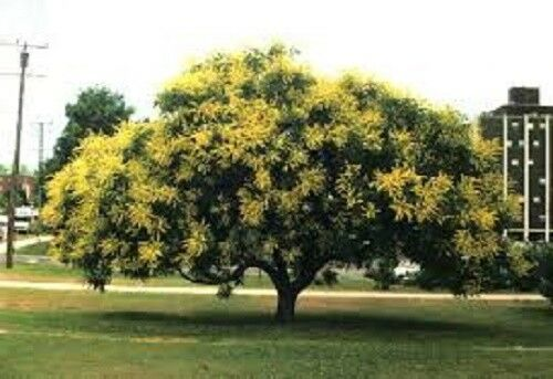 "5 x GOLDEN RAIN TREE Seeds-KOELREUTERIA paniculata /""Pride of India /'arbre"