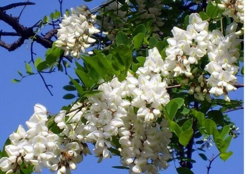 200 seeds BLACK LOCUST TREE Robinia pseudoacacia