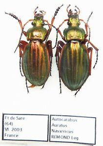 Carabus autocarabus auratus navarricus (Pair A1) from FRANCE