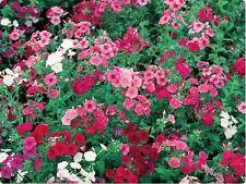 Phlox- Mix Colors- 200 seeds - 50 % off sale