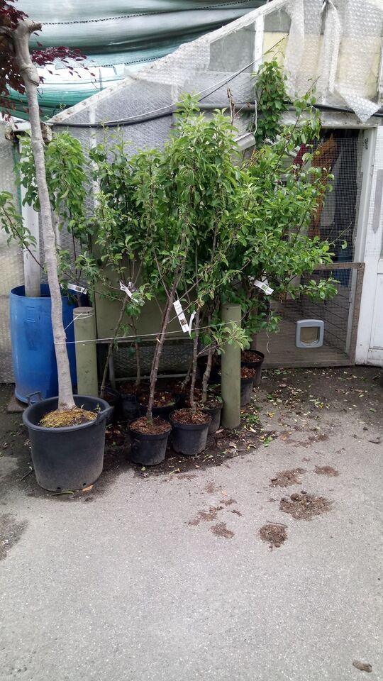 Frugttræer, i potter