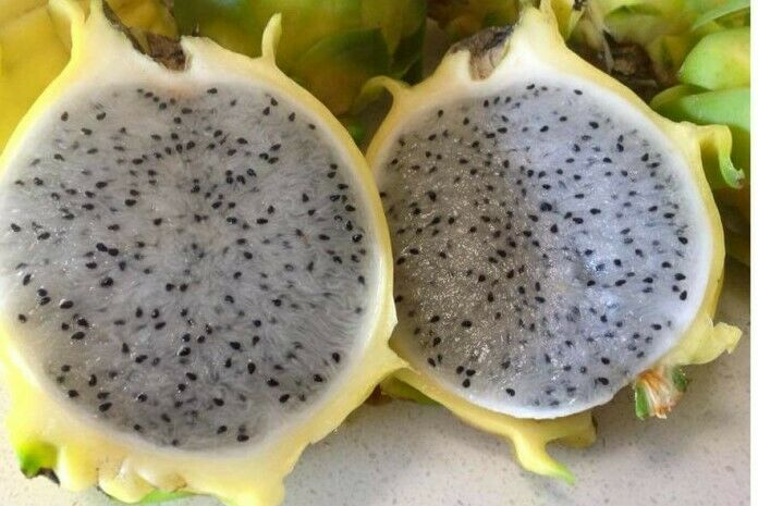 1 Red Vietnamese ROOTED Dragon Fruit