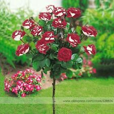 15 Pcs Imported Red Rose Tree Seeds Good Germination