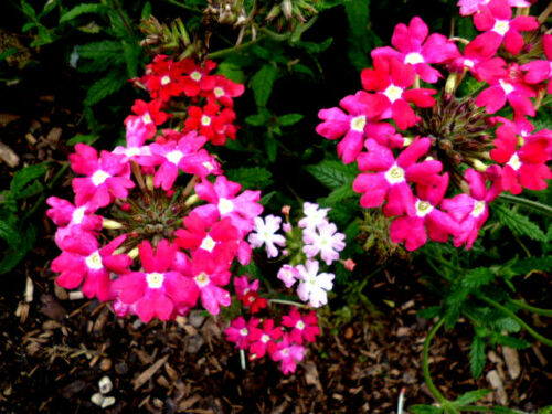 Sounds Easy Hanging sommerblüher 25 Seeds Rose//Red VERBENE