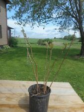 """(6) - Black walnut Seedling's 12"""" to 24"""" High - From Central WI. {Live Tree's}"""