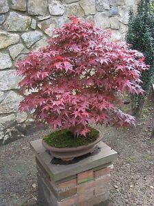 Bonsai Acer Palmatum Cultivar Bloodgood 10 Seeds Ebay