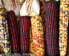 50 USDA Organic Painted Mountain Indian Corn seeds heirloom non-GMO maize