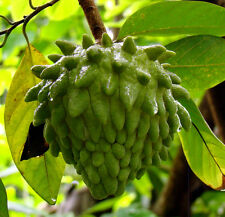 Atemoya Tropical Fruit Trees