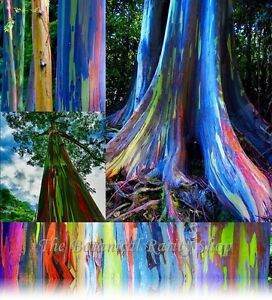 Eucalyptus-deglupta-Rainbow-Eucalyptus-50-Viable-seeds-Beautiful-rare-tree