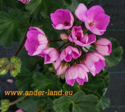 3x pelargonie /'Linnea Andrea/' tulpenblütige fiori aperti Tulip-Flowered Pelargonium