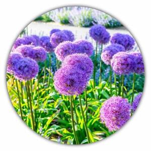 Riesenlauch-Zierlauch-50-Samen-winterhart-Allium-giganteum