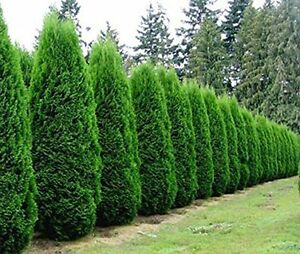 Image Is Loading Emerald Green Arborvitae Tree Thuja Live Plant Trade