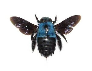 REAL-BLUE-CARPENTER-BEE-BUMBLEBEE-XYLOCOPA-CAERULEA-MOUNTED-PACKAGED-INDONESIA