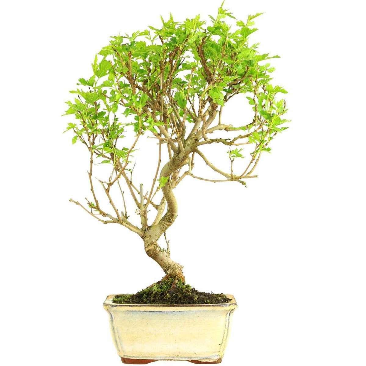 Maulbeerbaum, Bonsai, 9 Jahre, 40cm (091-06)