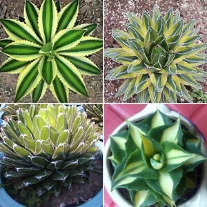 Am-BL-100-Seed-Aloe-Vera-Seeds-Edible-Succulent-Plant-Rare-Herbal-Medicinal-Ve