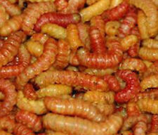 100 BUTTERWORMS REPTILE FOOD LIVE BAIT WORM ICE FISHING GRUB Regular Size