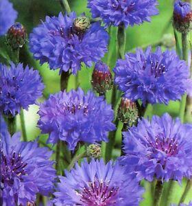 200 Graines De Bleuet Bleu Boule Ball Blue Centaurea Cyanus Fleur Ebay