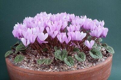 Cyclamen Cilicium ( Charming.easy species )  12 x Fresh Seed