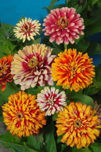 Poinsettia durchmischter Farbmix semence des graines