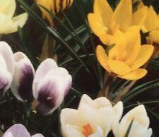 5 Multi Color Species Crocus Mix Bulbs Spring Bloom No Chemicals 🐝 Friendly