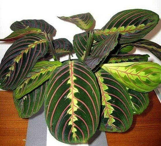 "Maranta Red Prayer Live Plant Easy to Grow Houseplant 3.5"" Pot Indoor"
