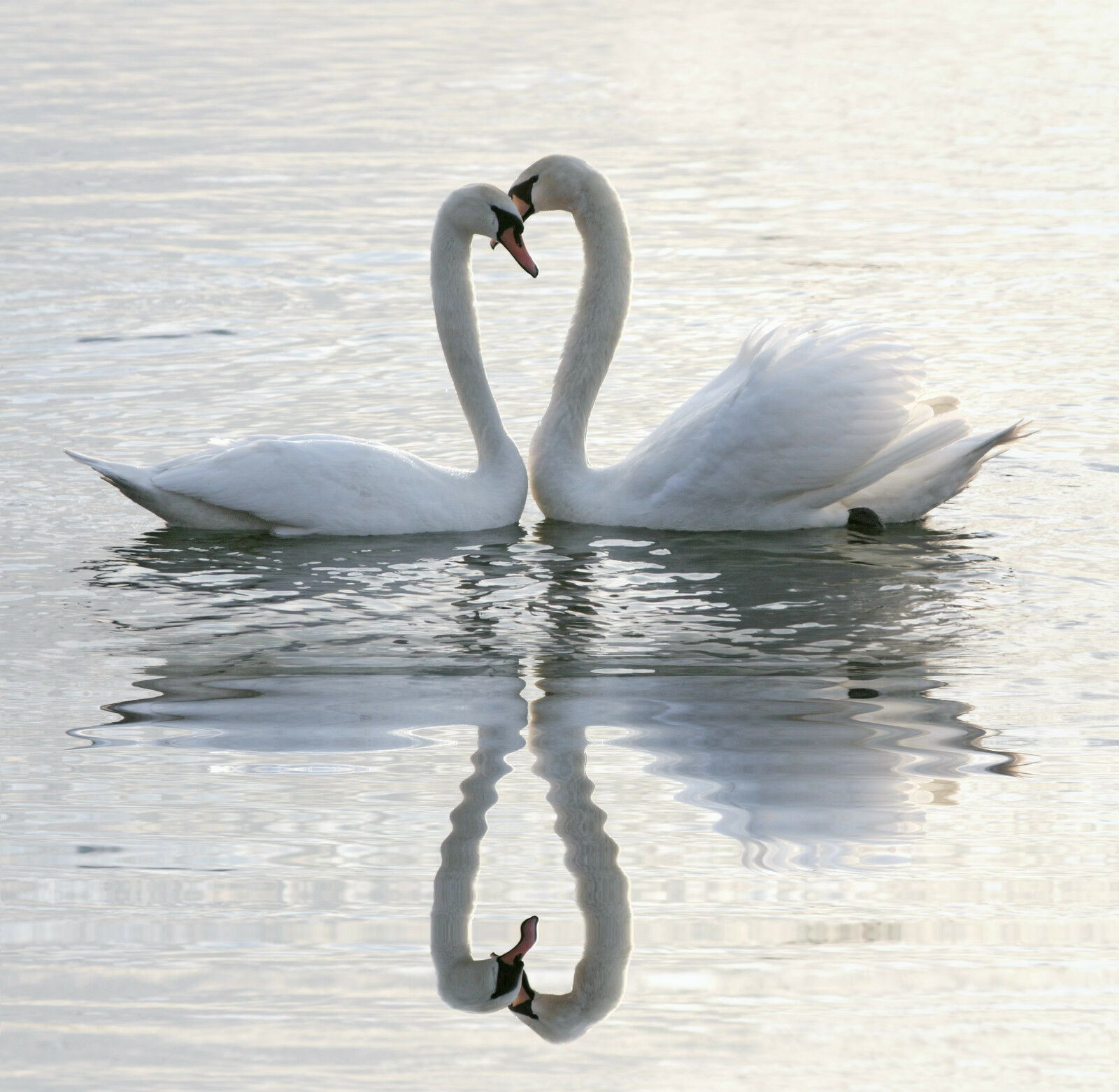 3D Two Embracing White Swans 859 Wall Paper Wall Print Decal Wall AJ Wall Paper